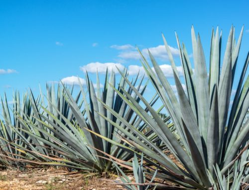 ¿Cuáles son los destilados de agave?