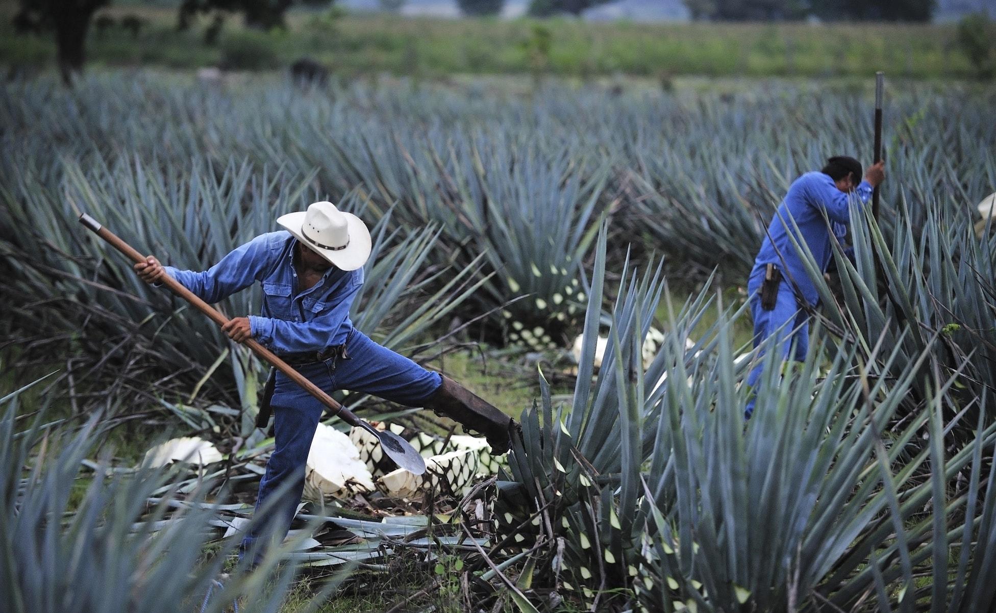 campos de agave azul