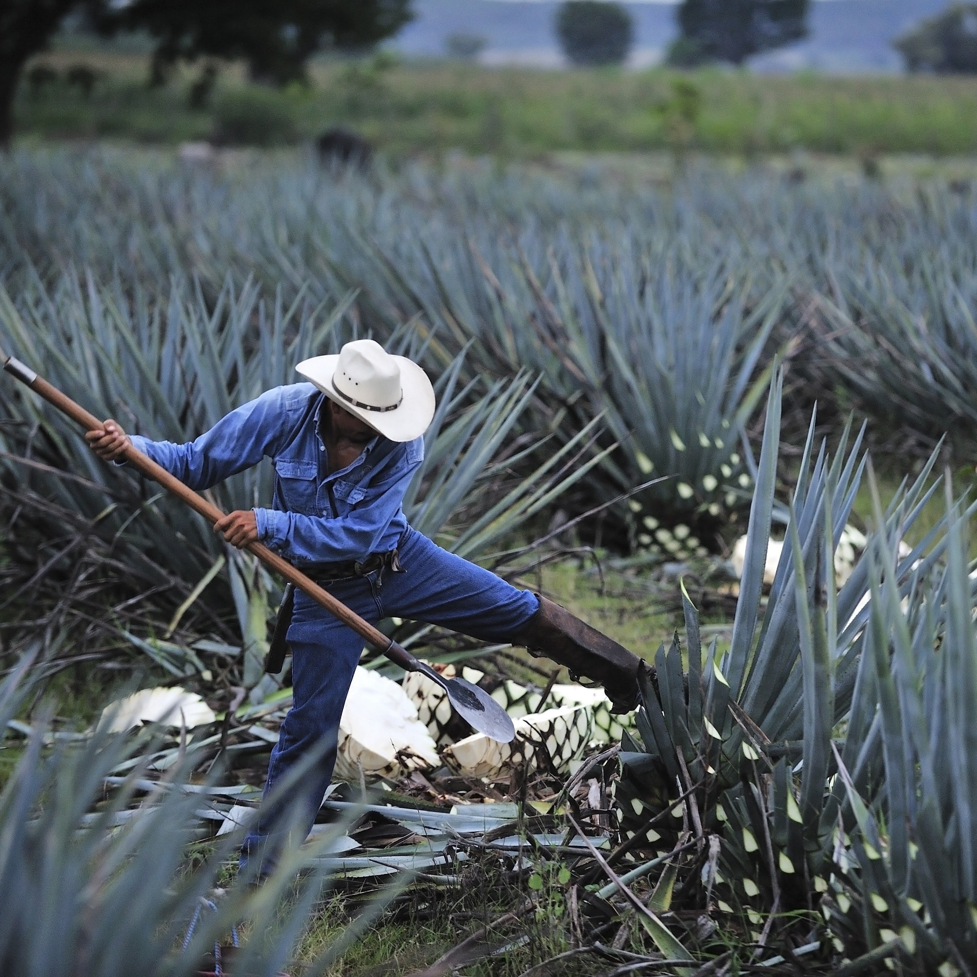 cosecha del agave