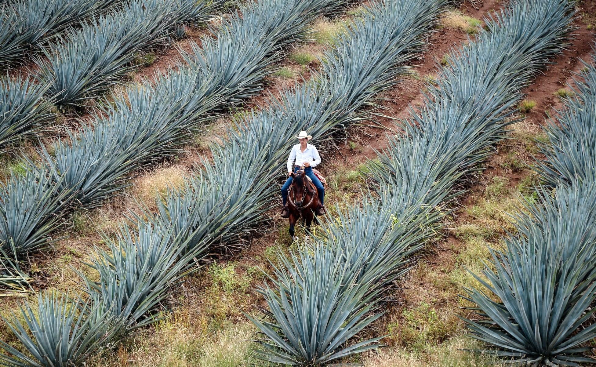 campos de planta para hacer tequila agave azul