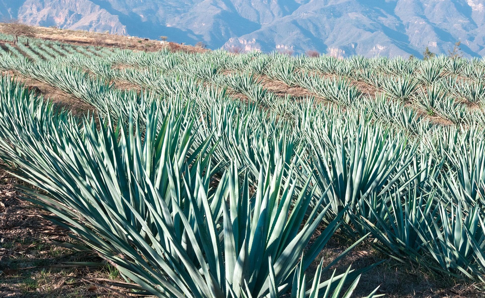 diferencia mezcal y tequila 2-min