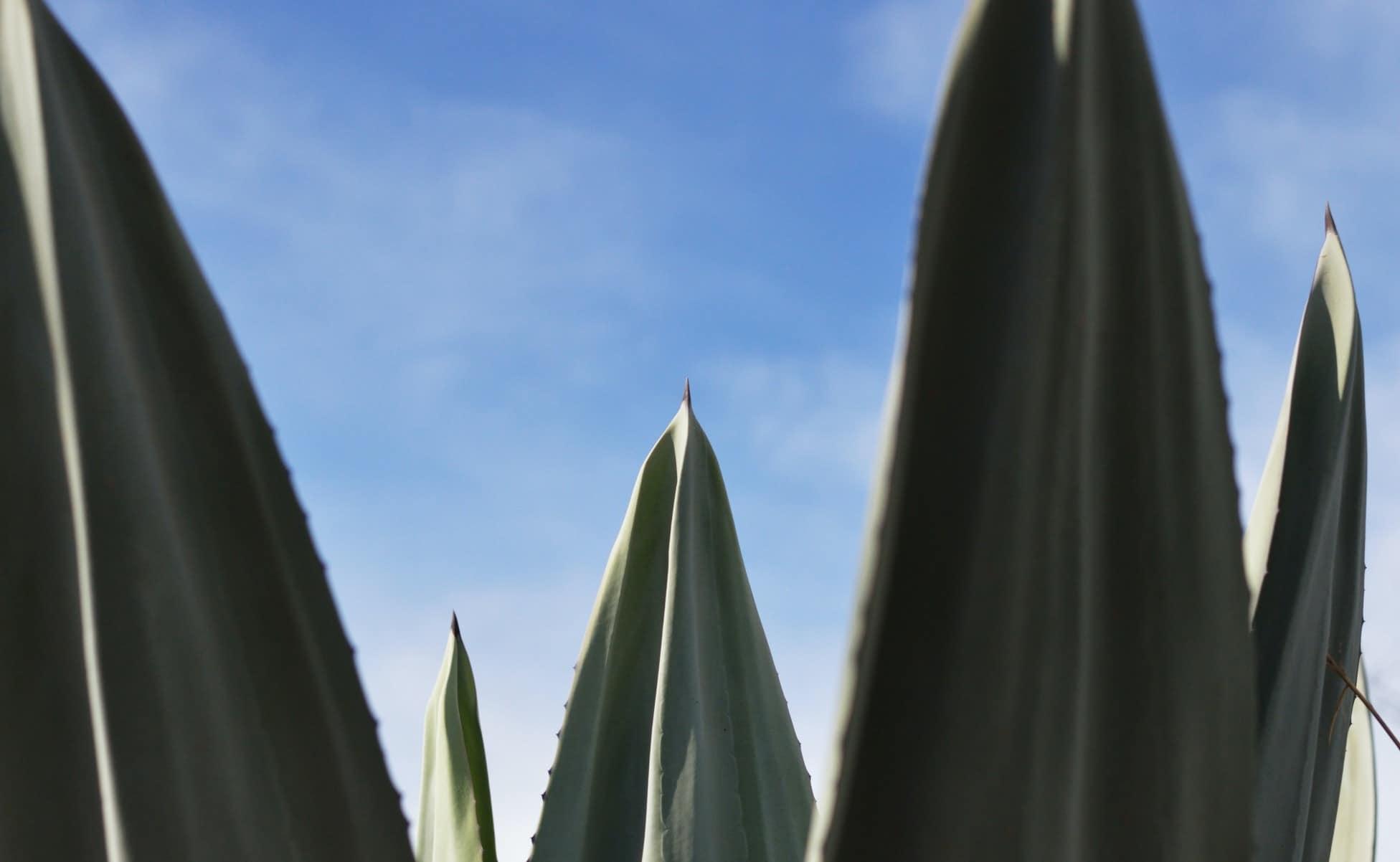 los destilados del agave