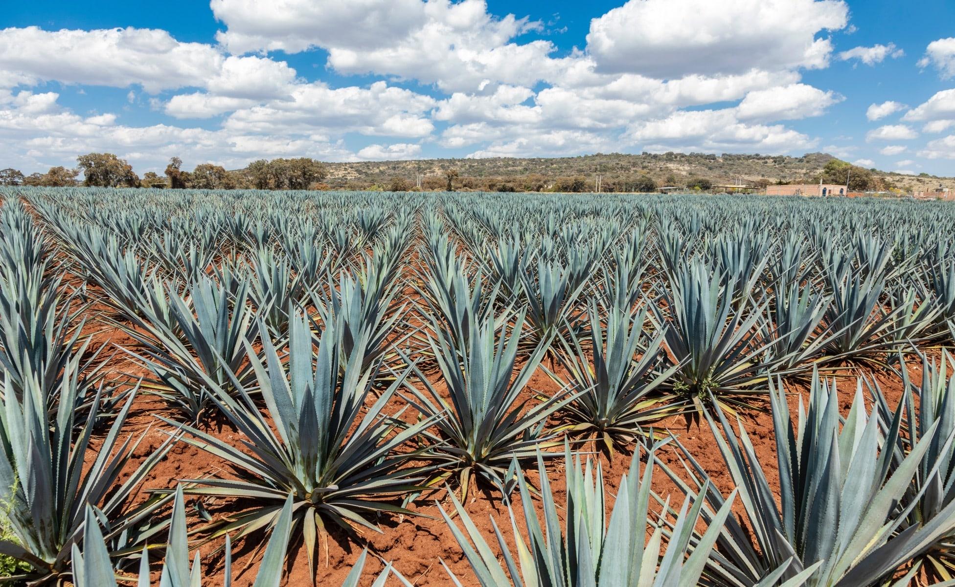 paisaje agavero ruta del tequila